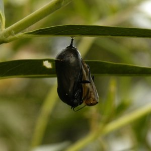 Monarch_Butterfly_Emerging