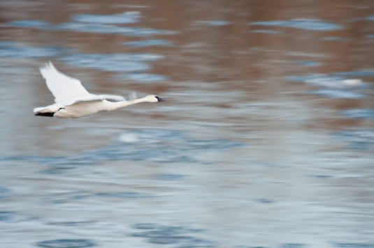 Tundra Swans landing IMG_0707